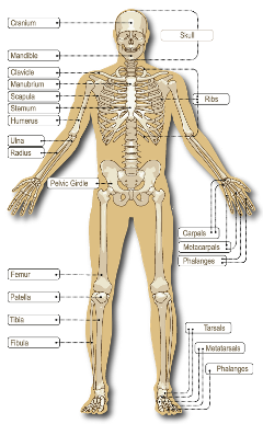 The adult human skeleton comprises 206 connected bones